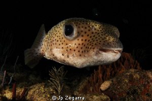 this porcupinefish was slowly swimming around during a ni... by Jp Zegarra 